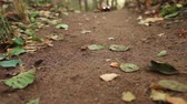 terreno extremo : Pickup on the road in autumn forest among the fallen leaves Stock Footage