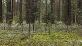 coniferous trees : coniferous Pine forest panorama dolly shot