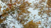 허리케인 : Yellow autumn windswept bends the top trees overhead
