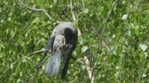 plumagem : Old raven cleans feathers in the sun among green foliage close up