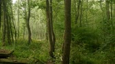 чаща : quiet early morning in a green forest panorama Стоковые видеозаписи