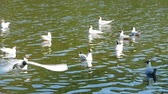 glides : wingspan of a seagull in flight, black-headed flight, slow motion