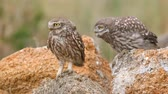 baykuş : Two Little owl (Athene noctua) sits on a stone near burrow Stok Video
