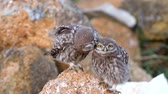 комиксы : Two young Little owl (Athene noctua) stands on a stone and cleaned Стоковые видеозаписи