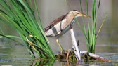 timid : Little bittern (Ixobrychus minutus) hunts in the cane