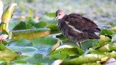 rallidae : Young Common Moorhen or European Moorhen (Gallinula chloropus) in natural habitats