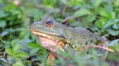 yanak : Green Marsh Frog (Pelophylax ridibundus) croaking. Close Up Portrait