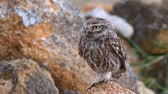 coruja : Little owl (Athene noctua) stands on a stone and then flies away