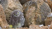 baykuş : Youn little owl (Athene noctua) funny moves his head and looks at the the camera Stok Video