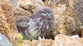 baykuş : Two young little owl (Athene noctua) near his burrow
