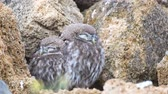 coruja : Two young little owl (Athene noctua) sleeps near his burrow