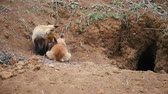 juvenil : Two young red fox resting near the burrow