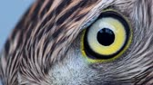 temas animais : Eagle eye closeup, macro, eye of young Goshawk (Accipiter gentilis)