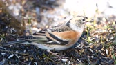 feeder : Brambling (Fringilla montifringilla) Looking for food in the grass