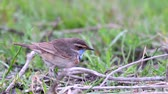 Bluethroat, Luscinia svecica, eats a worm. Male