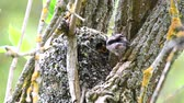 sýkorka : Long-tailed tit (Aegithalos caudatus) feeds its chicks in the nest