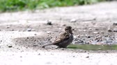House sparrow, Passer domesticus, bathes in a puddle.