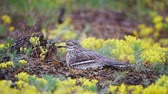 Eurasian stone curlew (Burhinus oedicnemus) sits on the nest in the rain