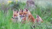Red fox cubs playing in the tall grass. Vulpes