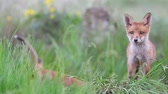 juvenil : Red fox cubes Vulpes