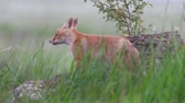 Red hair fox cubes Vulpes