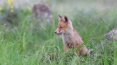 Red fox cubs sits in grass and then leaves the frame. Vulpes
