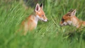 лиса : Red fox cubs play in the tall grass. Vulpes