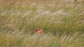 Pheasant cock walks in tall grass in a meadow. Spring, phasianus colchicus Stock Footage