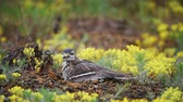 Eurasian stone curlew (Burhinus oedicnemus) sits on the nest and looks into the camera