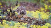 Eurasian stone curlew (Burhinus oedicnemus) turns the eggs on the nest