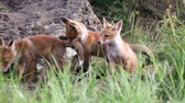 лиса : Cute red foxes cub playing near the burrow. Vulpes Стоковые видеозаписи