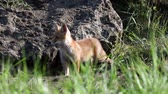 Red fox cub stands and climbs into it. Vulpes