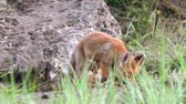 Two young red foxes playing near the burrow. Vulpes