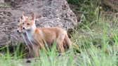 Two young red foxes were scared. Vulpes