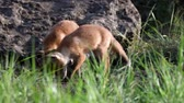 Two young red foxes digging in the groung near his burrow. Vulpes