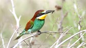European bee-eater (Merops apiaster) sitting on a stick