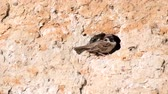 ornitoloji : Eurasian Tree Sparrow, Passer montanus, with chicks in his hole
