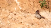 Eurasian Tree Sparrow, Passer montanus, slope and screams