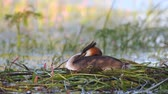 lake aquatic : Great Crested Grebe, Podiceps cristatus, water bird sitting on the nest