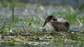aquatic plants : Great Crested Grebe, Podiceps cristatus, climbs on the nest, straightens eggs and sits on them