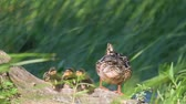 young mother : mother duck (mallard duck, anas platyrhynchos) with old trunk against green reeds