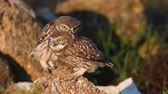 Two young little owls (Athene noctua) are played standing on a natural stone