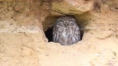 Little owl (Athene noctua) at the camera Stock Footage