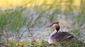 aquatic plants : Great Crested Grebe, Podiceps cristatus, water bird sitting on the nest. The chick looks out from under the wing.