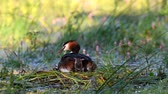 lake aquatic : Great Crested Grebe, Podiceps cristatus, sits on the nest. Three Chicks climb under the wing. Stock Footage