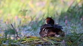lake aquatic : Great Crested Grebe, Podiceps cristatus, on the nest. Chick climb under the wing