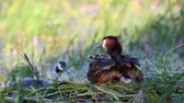 lake aquatic : Great Crested Grebe, Podiceps cristatus, on the nest. Moms back Stock Footage