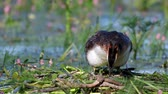 aquatic plants : Great Crested Grebe, Podiceps cristatus, climbs on the nest, straightens eggs and sits on them. Stock Footage