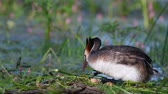 waterbird : Great Crested Grebe, Podiceps cristatus, on the nest, straightens eggs and sits on them