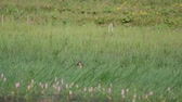 pintos : Wild Mallard duck with dragonfly (Anas platyrhynchos) in the grass